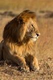 Manligt lejon i masaien Mara Fotografering för Bildbyråer
