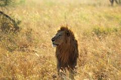 Manligt lejon i savannah Arkivfoto