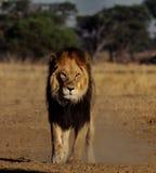 Manligt lejon med inställning Arkivfoton