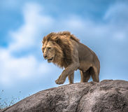 Manligt lejon på den steniga utlöparen, Serengeti, Tanzania, Afrika Royaltyfria Bilder