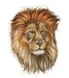 Manligt lejon på vit Arkivbilder