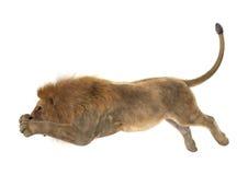 Manligt lejon på vit Fotografering för Bildbyråer
