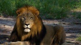 Manligt lejon på zoo Fotografering för Bildbyråer
