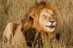 Manligt lejon som ler i masaien Mara Arkivbilder