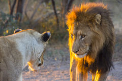 Manligt lejon som stirrar på lejoninnan Arkivfoton