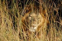 Manligt lejon som stirrar till och med gräs Royaltyfri Bild