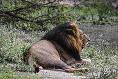 Manligt lejon som vilar på den Kruger nationalparken fotografering för bildbyråer