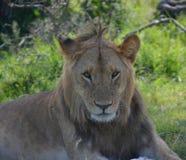 Manligt lejon som vilar på slättarna Arkivbild