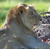 Manligt lejon som visar man Royaltyfri Fotografi