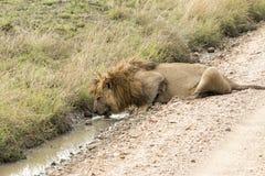 Manligt lejondricksvatten från en pöl Royaltyfria Foton