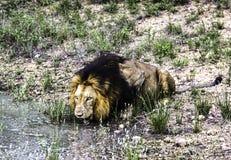 Manligt lejondrinkvatten från ett damm på den Kruger nationalparken royaltyfri foto
