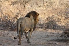 Manligt lejonlandskap Arkivbilder
