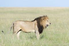 Manligt lejonPantheraleo anseende i savannah royaltyfri foto