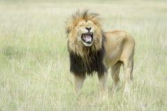 Manligt lejonPantheraleo anseende i savannahen som flehming arkivbild