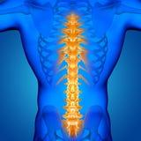 manligt medicinskt diagram 3D med den markerade ryggen royaltyfri illustrationer