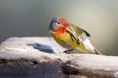 Manligt Melba Finch dricksvatten från vaggar bredvid dammet Royaltyfri Foto
