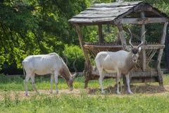 Manligt och kvinnlig Antilopa Adax Royaltyfria Bilder
