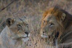 Manligt och kvinnligt lejon som parar ihop 3 Arkivbild