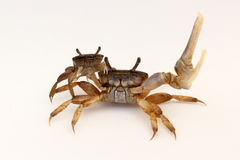 Manligt och kvinnligt posera för krabbor (Ucaminax) Fotografering för Bildbyråer
