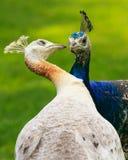 Manligt och kvinnligt uppvakta för påfåglar Arkivfoton