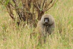 Manligt Olive Baboon söka efter föda Royaltyfri Fotografi