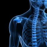 Manligt skelett Arkivbild