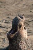 Manligt slut för elefantskyddsremsa upp Arkivfoto