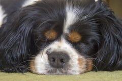Manligt stolt sova för hund för konung Charles Spaniel royaltyfri bild