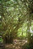 Manligt turist- beundra jätte- banyanträd på Hawaii Filialer och att hänga rotar av jätte- banyanträd på den stora ön av Hawaii Fotografering för Bildbyråer