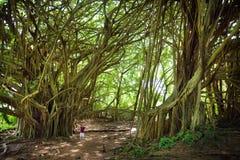Manligt turist- beundra jätte- banyanträd på Hawaii Filialer och att hänga rotar av jätte- banyanträd på den stora ön av Hawaii Arkivbilder