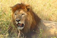 Manligt vila för lejon Fotografering för Bildbyråer