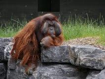 Manligt vuxet sammanträde för Bornean orangutang på en vagga royaltyfria foton
