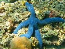 Manlike starfish. A starfish that resembles a looks of a man Stock Photos