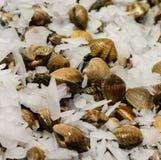 Manilla clams Stock Photo