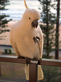 Manly Cockatoo front. Feeding wild Sulphur Crested Cockatoo in Manly, Australia Royalty Free Stock Photography