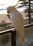 Manly Cockatoo left. Feeding wild Sulphur Crested Cockatoo in Manly, Australia Stock Photos