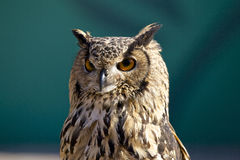 Manly owl Stock Images