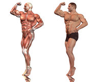 manmuskeln poserar Arkivbilder