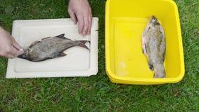 Mann übergibt Salz frisch gefangene Brachsenschleienfische stock footage