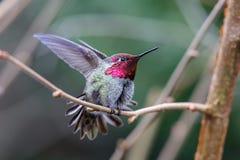 Mann-Annas-Kolibri stockfotografie