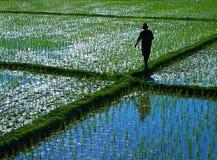 Mann auf einem Reisgebiet Stockfotos