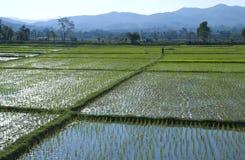 Mann auf einem Reisgebiet Stockbilder