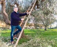 Mann auf Olivenbaum der Leiterbeschneidung Stockfoto