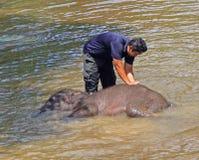Mann badet Elefanten im Fluss Stockfotografie