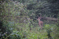 Mann beschmutzter Rotwildhirsch in einem Wald Lizenzfreie Stockfotografie