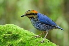 Mann blaues fascinatedl Pitta (Hydrornis-cyaneus) des blauen Vogelesprits stockbild