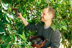 Mann, der die Ernte der Avocado erhält Lizenzfreies Stockfoto
