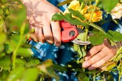 Mann, der die Rosen im Garten schneidet Lizenzfreie Stockfotografie