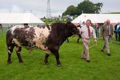 Mann, der ein Bull an Westmorland Erscheinen 2010 zeigt Lizenzfreie Stockfotografie