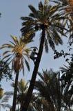Mann, der ein palmtree klettert lizenzfreie stockbilder